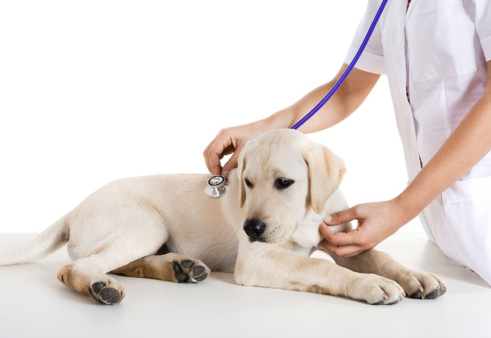 Yellow Lab puppy receives a health examination.
